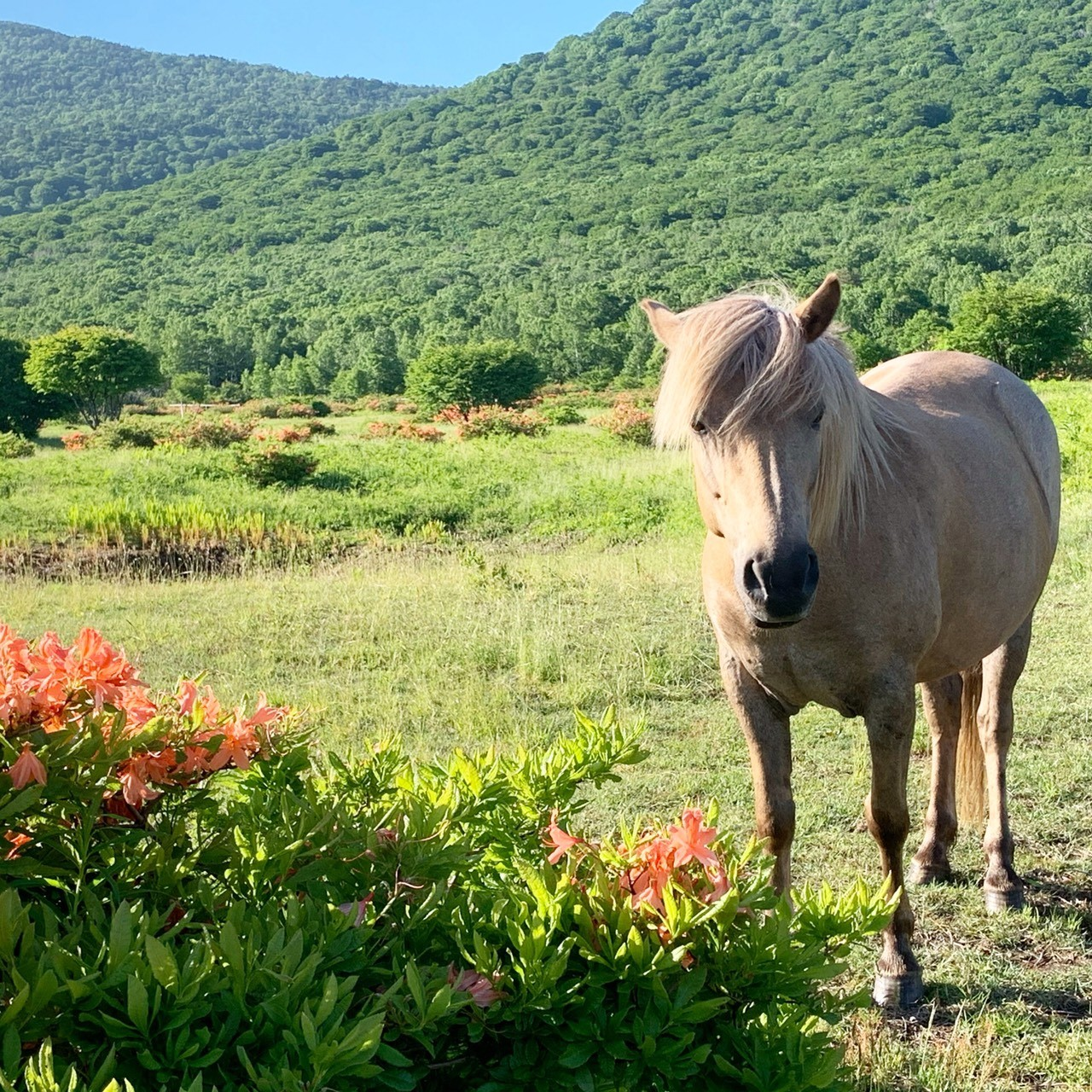 安比高原的馬